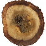 Öd ağacı