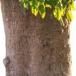 Belambra ağacı