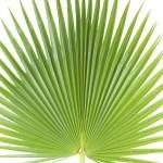 Palmiye yaprağı