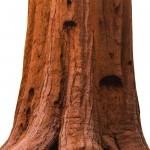 Sekoya ağacı