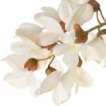 Beyaz çiçekli yalancı akasya