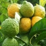 Hatkora limonu