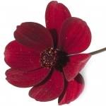 Çikolata çiçeği