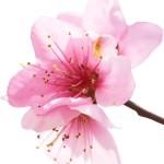 Kayısı çiçeği