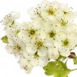Alıç çiçeği