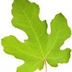 İncir yaprağı