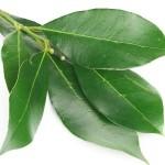 Defne yaprağı
