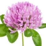 Yonca çiçeği