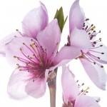 Şeftali çiçeği