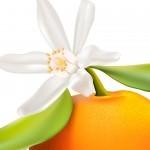 Mandarin portakal çiçeği